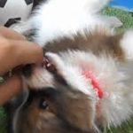 ペットショップ犬の家尼崎店 【104033】【パピヨン】