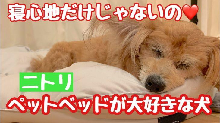 【ニトリペットベッド】購入して2ヶ月 寝心地だけじゃなかった⁉️愛犬が気に入った理由がありました❤️