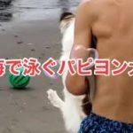 ヒカキン ヒカキン大好き フィッシャーズ フィッシャーズ大好き くうちゃん パピヨン 子犬 犬 ワンちゃん チャンネル登録お願いいたします。
