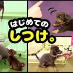 驚異の成長!チワックスの子犬がしつけを完璧に覚えるまで🐶【おすわり、お手、おかわり、伏せ、待て】