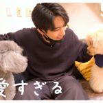 🐶犬が二匹に増えてかわいいが止まらないアラサー男が幸せそう。(後編)【トイプードル】