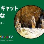 PittenTV_MEERKAT_#003
