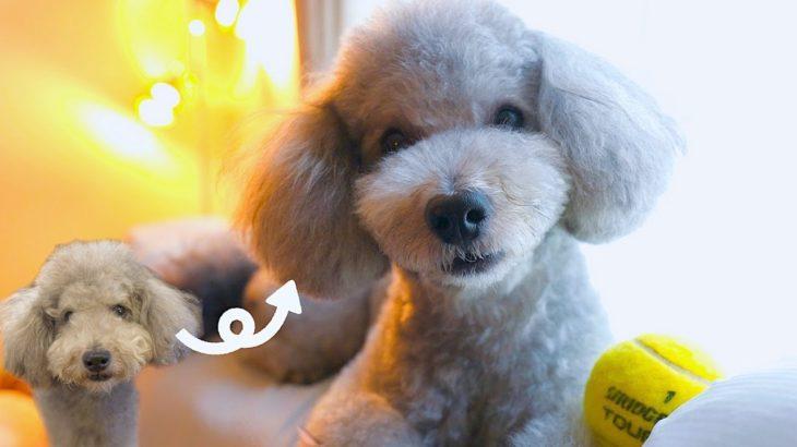 🐶サマーカットで別犬になった愛犬が可愛過ぎて親バカが止まらない【トイプードル】